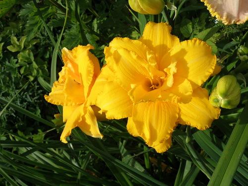 Цветки темно-желтые