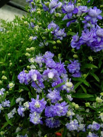 Цветки голубые, махровые