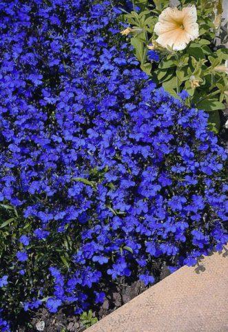 Темно-голубые цветки