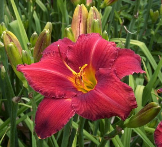 Цветки открытые, округлые, бархатисто-алые