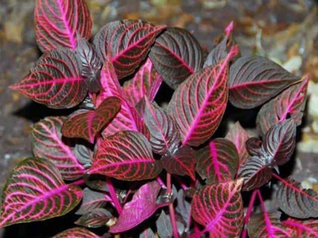 Листья темные, бордово-красные