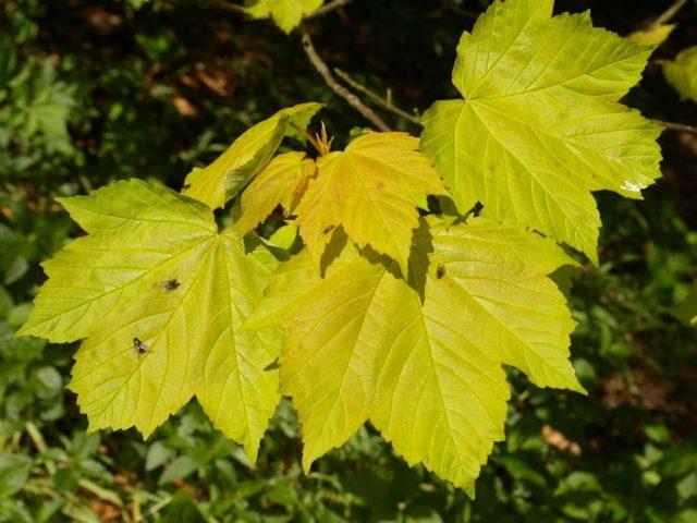 Пятилопастные листья в молодости золотисто-желтые