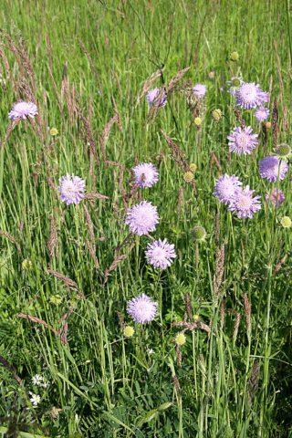Синевато-фиолетовые головчатые соцветия