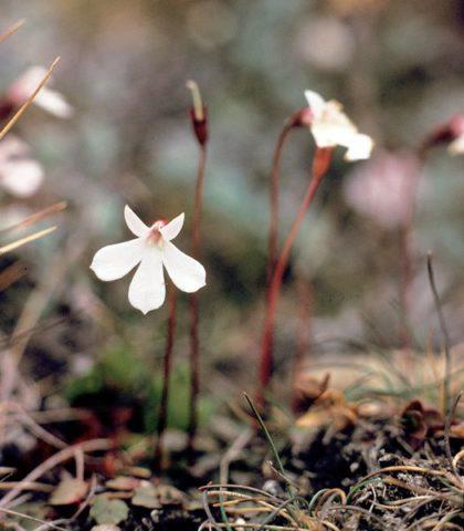 Белые цветки с пурпурным центром