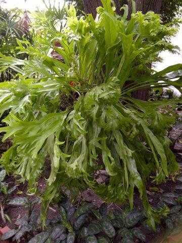 Серебристые закругленные листья