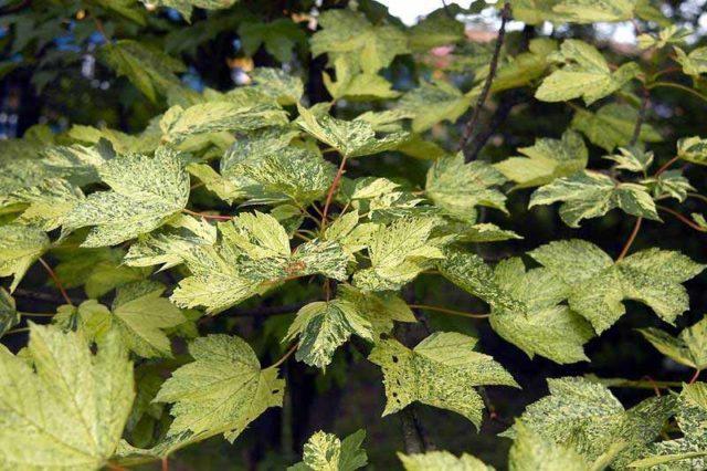 Листья сначала розоватые, затем быстро становятся зелеными