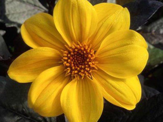 Сорт с цветками насыщенно-желтой окраски