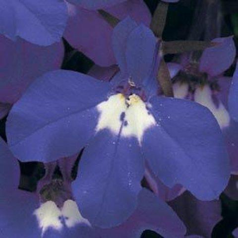 Цветки сиренево-голубые