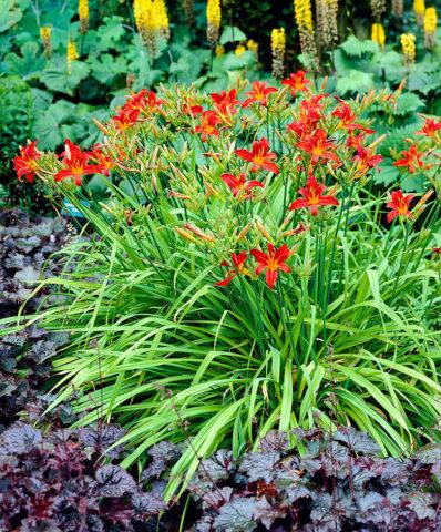 Цветки воронковидные, темно-красные