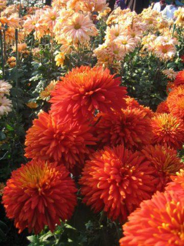 Цветки ярко-оранжевые