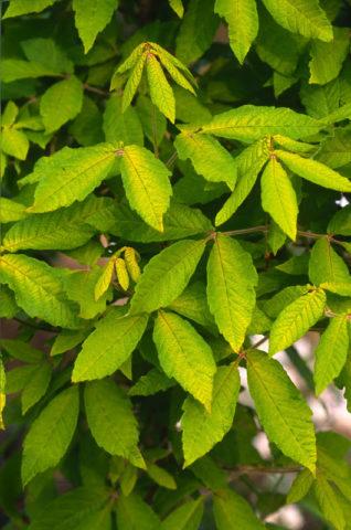 Листья длиной 10 см имеют три лопасти