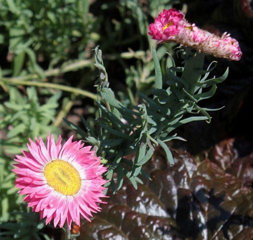 Вишневые цветки