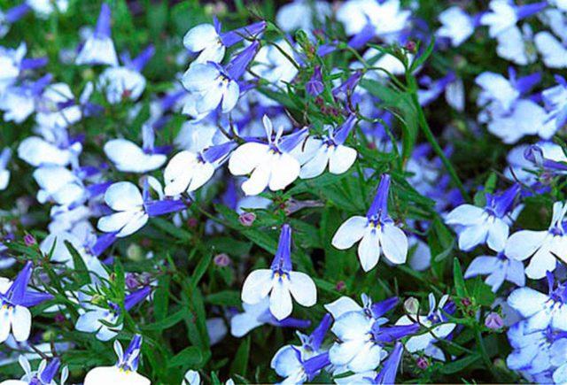 Цветки с выраженным белым глазком