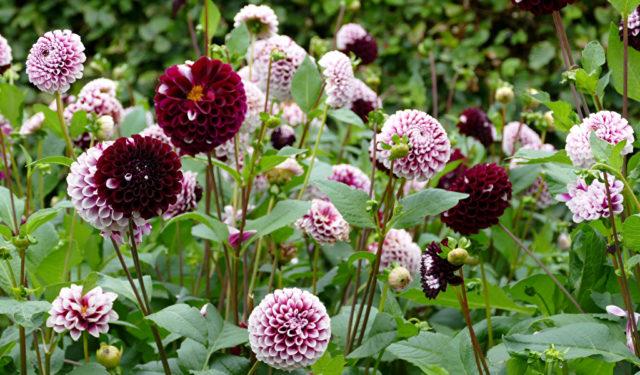 Сорт с темно-красными махровыми цветками