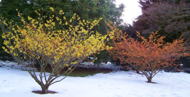 Сорт имеет желтые цветки с медно-красным оттенком