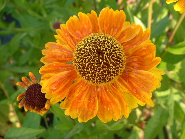 Сорт с оранжевыми соцветиями