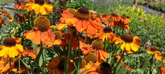 Сорт несет ярко-оранжевые соцветия