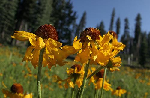 Соцветия оранжево-желтые