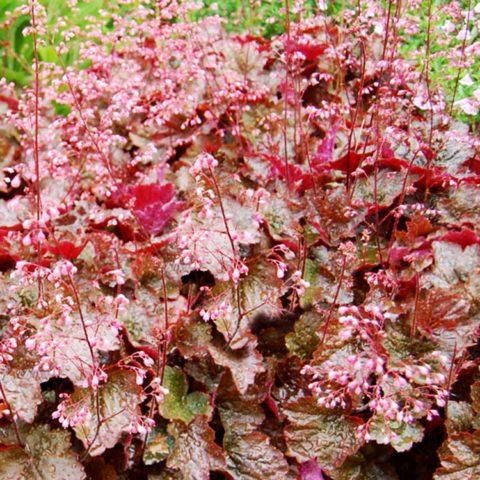 Цветки колокольчатые, кораллово-розовые