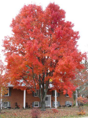 Прямостоячее дерево со слегка восходящими ветвями
