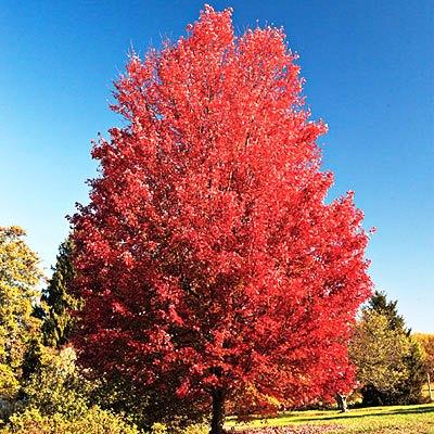 Осенняя окраска ярко-алая или темно-красно-оранжевая