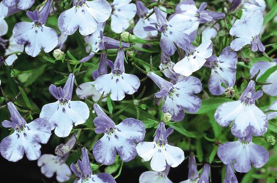 Цветки бледно-голубые