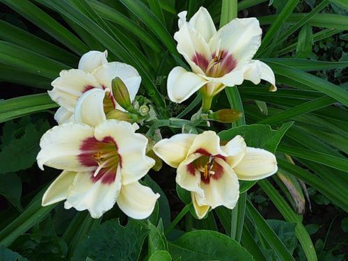 Вечнозеленое растение с ароматными светло-кремовыми цветками