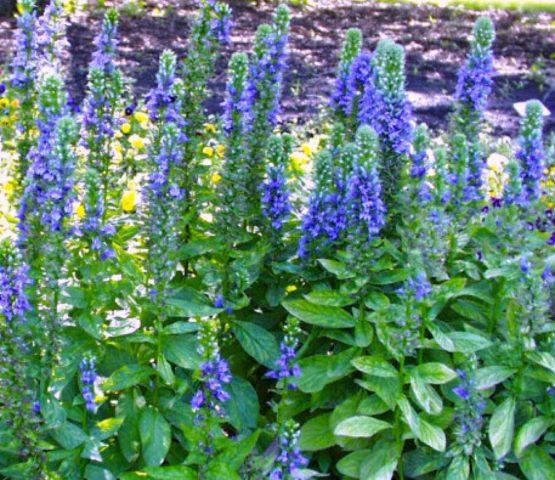 Синие цветки