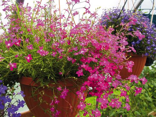 Фиолетово-синие цветки