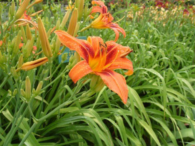 Цветки ароматные, колокольчатые, медно-желтые