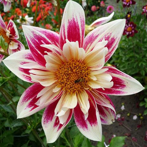 Наружные язычковые цветки полосатые желто-красные
