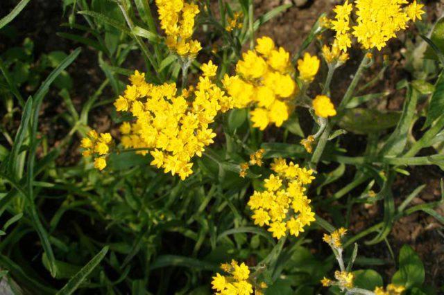 Мелкие золотисто-желтые соцветия