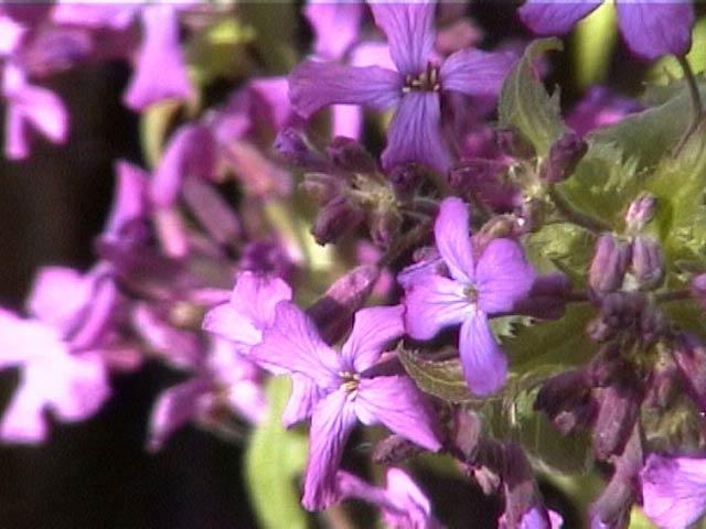 Светло-сиреневые цветки