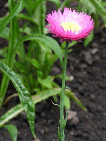 Соцветия-корзинки полумахровые