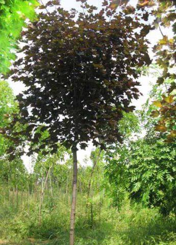 Это быстрорастущее дерево, выносящее щелочные почвы