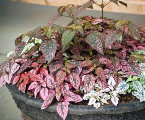 Сорт с ярко-красными листьями