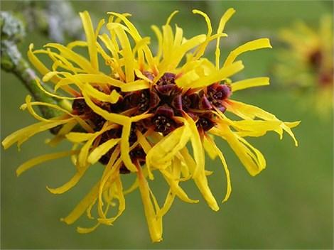 Цветки с более светлой желтой окраской