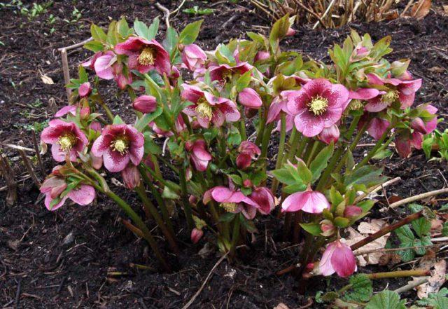 Цветки с красно-фиолетовыми пятнами