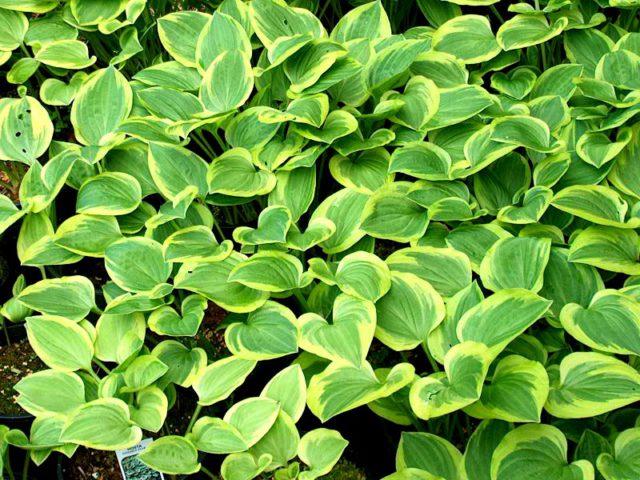 Аккуратное, компактное, быстро разрастающееся растение