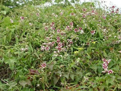 Цветки колокольчатые, с верхушками интенсивного темно-розового цвета