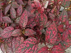 Листья темные сливово-фиолетовые