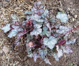 Листья мелколопастные, фиолетовые