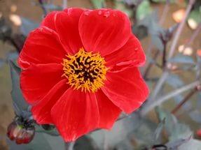 Краевые цветки ярко-красные
