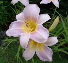 Цветки с широкими «лепестками»