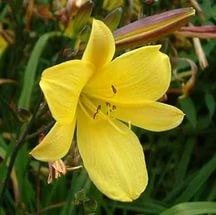 Цветки 6 см в диаметре, конусообразные