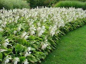 Цветки белые, ароматные