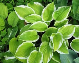 Листья нежного полынно-зеленого цвета