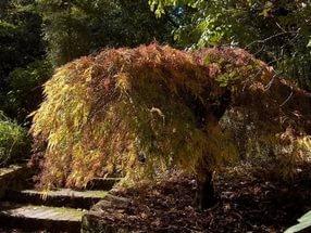 Осенью листва может быть ярко-красной или желтой
