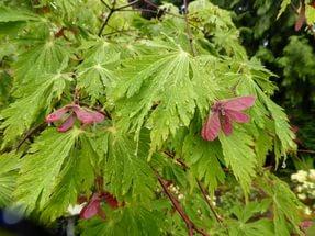 Глубоко рассеченные зеленые листья