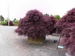 Темно-пурпурные листья